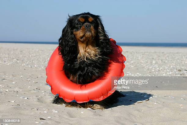 Cavalier King Charles Spaniel, black-and-tan, with swimming belt at beach