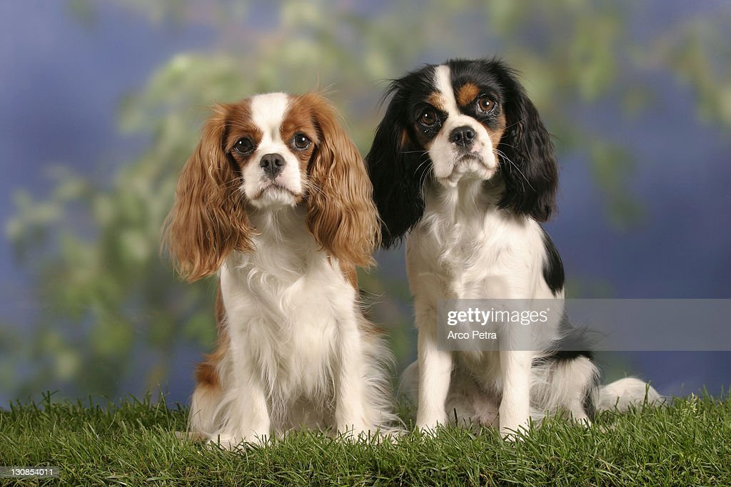 Cavalier King Charles Spaniel, Blenheim and tricolor