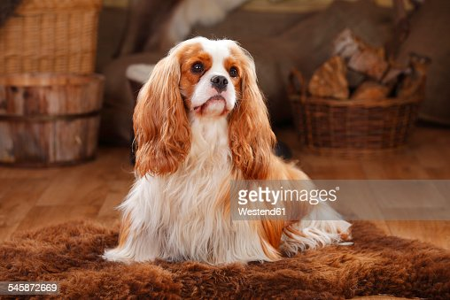 Cavalier King Charles Spaniel, blenheim, male dog