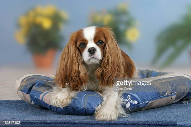 Cavalier King Charles Spaniel, Blenheim, on cushion