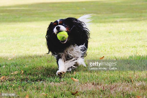 Cavalier King Charles Spaniel Carrying Ball In Mouth While Running On Grass