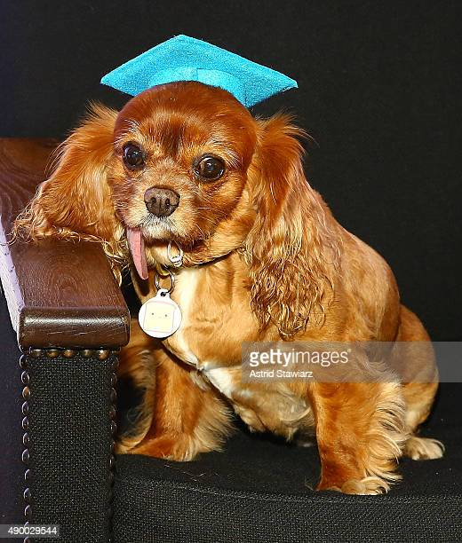 Cavalier king charles spaniel dog and instagram star Toast attends Febreze School Of #Petiquette Opening at Liberty Hall at Ace Hotel on September 25...
