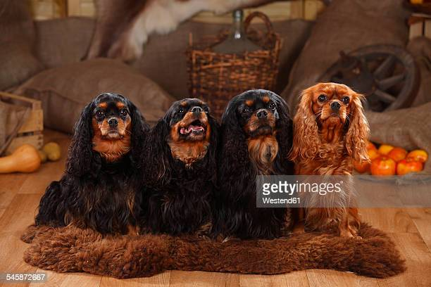 Cavalier King Charles Spaniel, group, black-and-tan and ruby