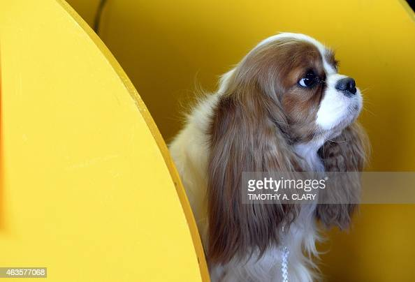 A Cavalier King Charles Spaniel in the benching area at Pier 92 and 94 in New York City on the first day of competition at the 139th Annual...