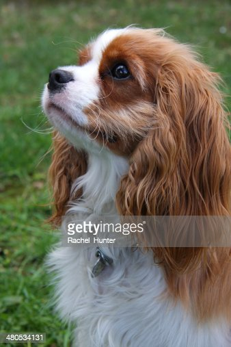 Cavalier King Charles Spaniel in the Garden : Stock Photo