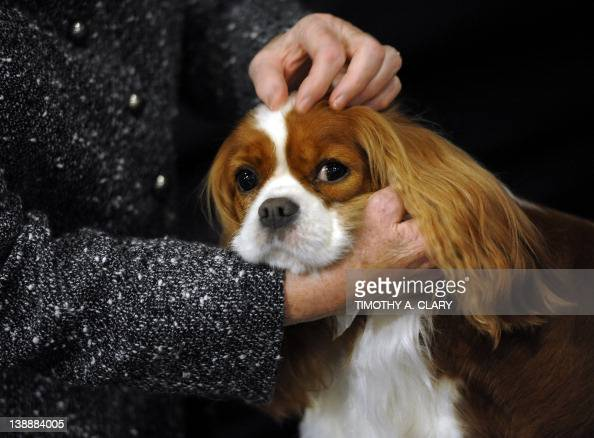 A Cavalier King Charles Spaniel in the staging area during the 136th Westminster Kennel Club Annual Dog Show held at Madison Square Garden February...