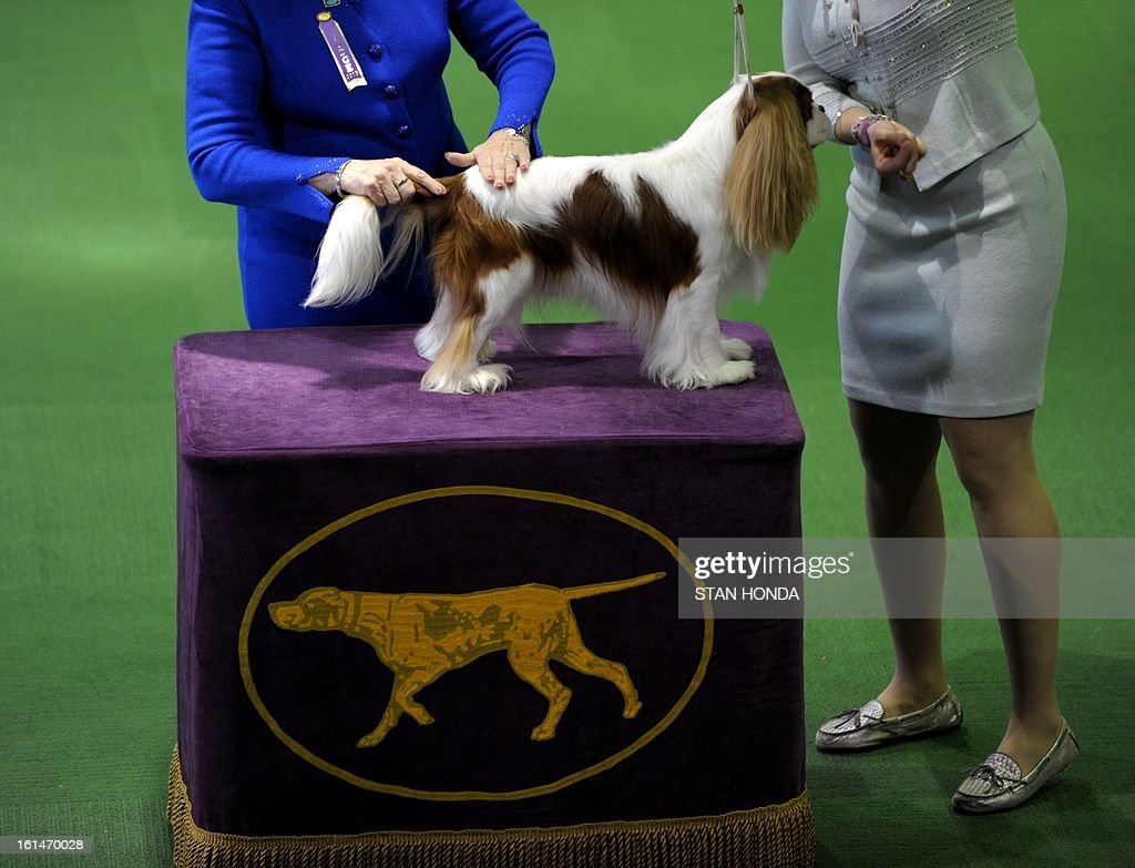 A Cavalier King Charles Spaniel is judged at the Westminster Kennel Club Dog Show February 11, 2013 in New York. AFP PHOTO/Stan HONDA