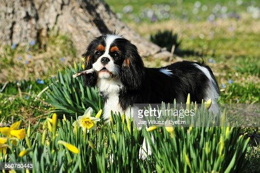 Cavalier King Charles Spaniel On Grassy Field
