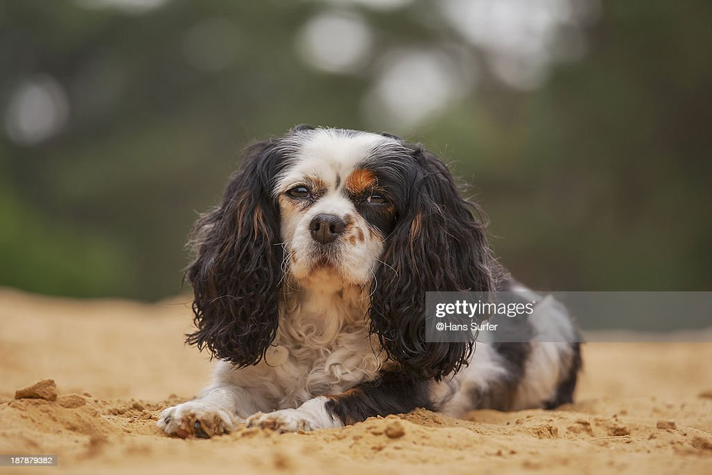 Cavalier King Charles Spaniel on the sand!