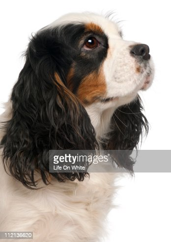 Cavalier King Charles Spaniel (16 months old) : Stock Photo
