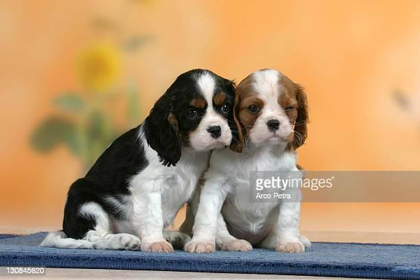 Cavalier King Charles Spaniel, puppies, 7 weeks