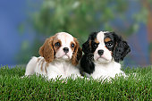Cavalier King Charles Spaniel, puppies, 8 weeks, Blenheim and tricolor