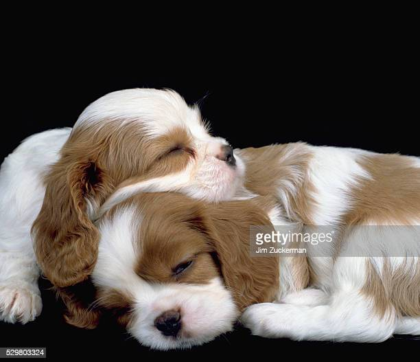 Cavalier King Charles Spaniel Puppies Sleeping