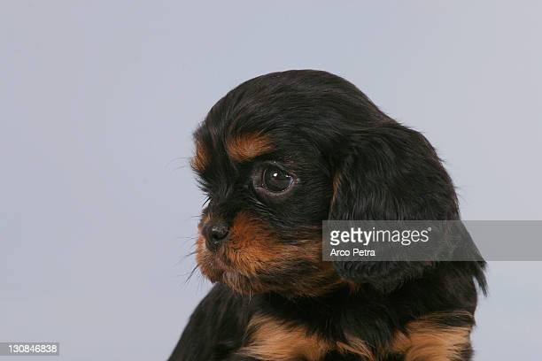 Cavalier King Charles Spaniel, puppy, 6 weeks, black-and-tan