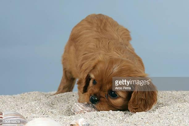 Cavalier King Charles Spaniel, puppy, 6 weeks, ruby