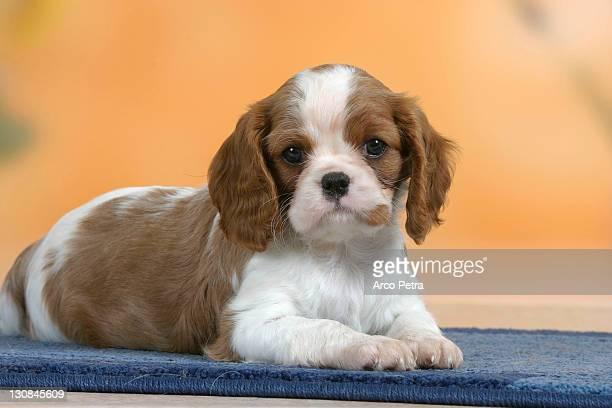 Cavalier King Charles Spaniel, puppy, 7 weeks, Blenheim