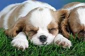 Cavalier King Charles Spaniel puppy, 8 weeks, Blenheim