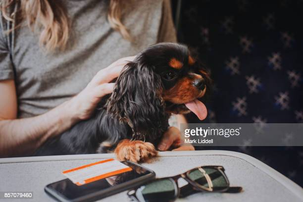 Cavalier King Charles Spaniel puppy on train