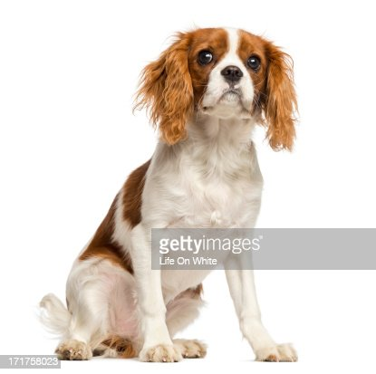 Cavalier King Charles Spaniel puppy, sitting : Stock Photo