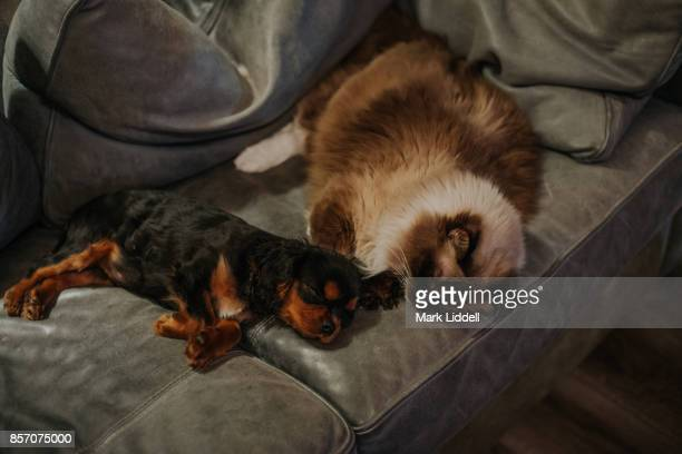 Cavalier King Charles Spaniel puppy sleeping beside ragdoll cat