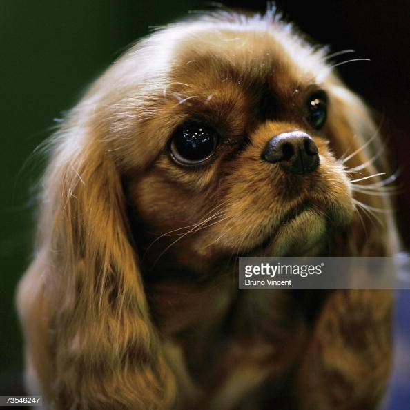 Cavalier King Charles Spaniel rests during Crufts International Dog Show at the National Exhibition Centre on March 11 2007 in Birmingham England...
