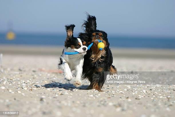 Cavalier King Charles Spaniel retrieving ball at beach