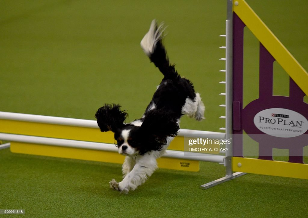 A Cavalier King Charles Spaniel runs the agility course during the 3rd Annual Masters Agility Championship on February 13, 2016 in New York, at the 140th Annual Westminster Kennel Club Dog Show. Dogs entered in the agility demonstrate skills required in the challenging obstacles that they will need to negotiate. / AFP / Timothy A. CLARY