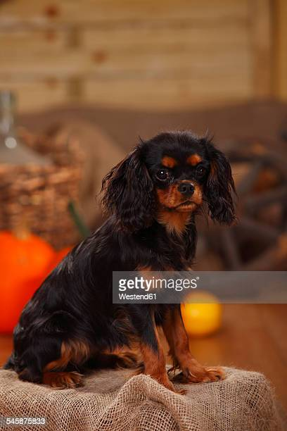 Cavalier King Charles Spaniel sitting in an autumnal decorated barn
