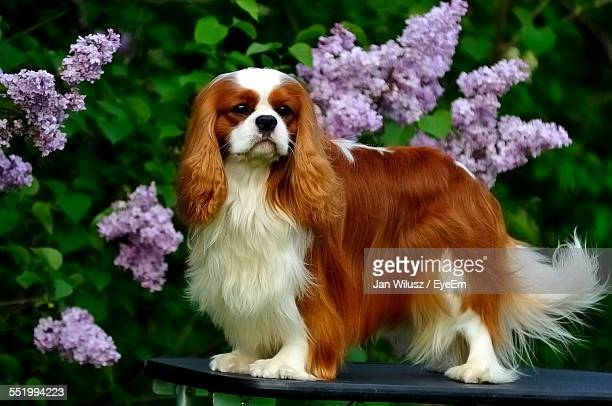 Cavalier King Charles Spaniel Standing On Table