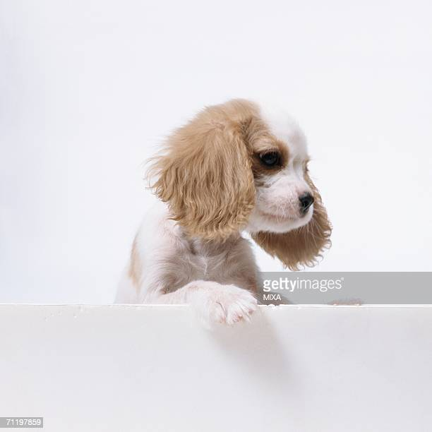 A Cavalier King Charles Spaniel standing