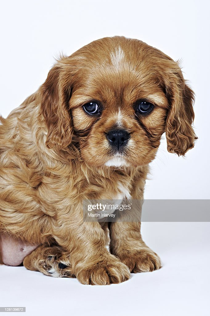 Cavalier King Charles Spaniel. Toy dog breed named after King Charles I, which had these dogs as pets for his children. Studio shot against a white background. Owned by Tara McClinton of South Africa.