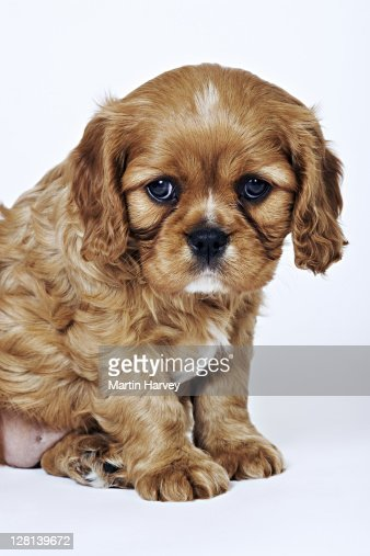 Cavalier King Charles Spaniel. Toy dog breed named after King Charles I, which had these dogs as pets for his children. Studio shot against a white background. Owned by Tara McClinton of South Africa. : Stock Photo