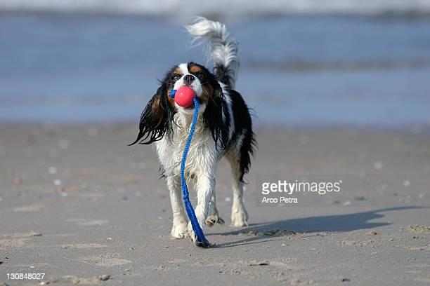 Cavalier King Charles Spaniel, tricolor, retrieving ball at beach