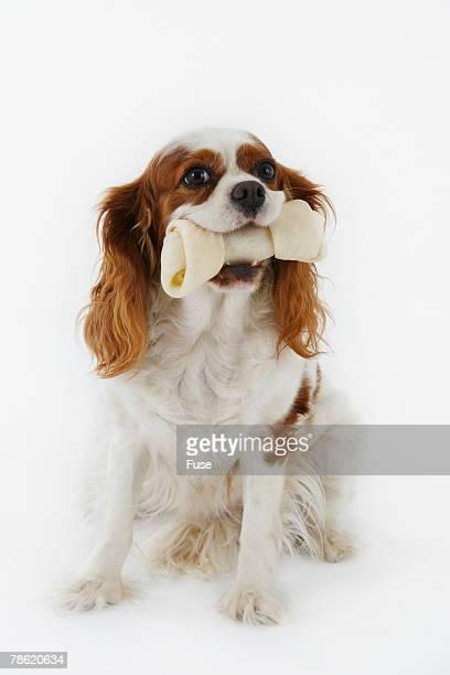 Cavalier King Charles Spaniel with Dog Bone