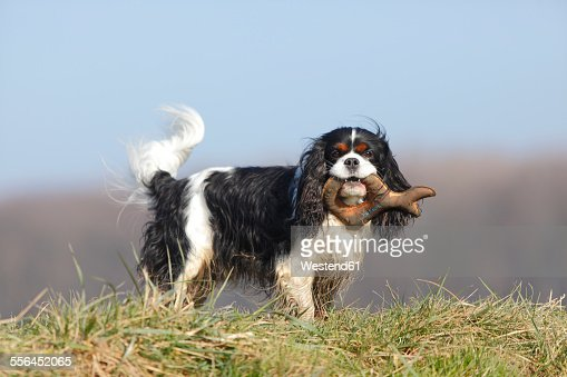 Cavalier King Charles Spaniel with dog toy standing on a meadow