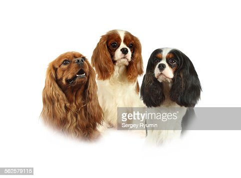 Cavalier King Charles Spaniels on a white