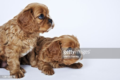 Cavalier King Charles Spaniels. Toy dog breed named after King Charles I, which had these dogs as pets for his children. Studio shot against a white background. Owned by Tara McClinton of South Africa. : Stock Photo