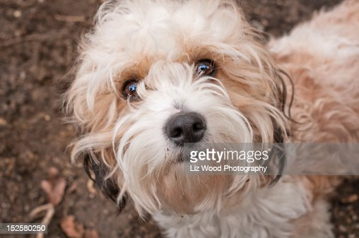 Cavapoo dog : Stock Photo