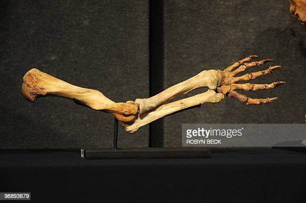 A cave bear arm is on display before sale at auction May 6 2010 in Los Angeles Bonhams Butterfields upcoming National History Auction on May 27 in...