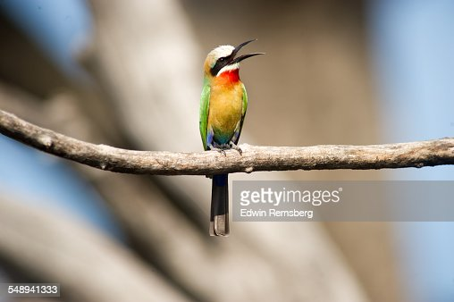 Cawing bee-eater