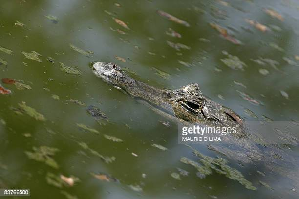 A cayman one of an endangered native species of Amazonian fauna lies at a natural reserve certified by the Brazilian Institute for the Environment...