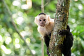 Cebus monkey in Costa Rica