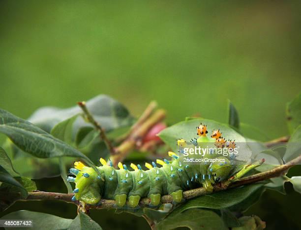 Cecropia Moth Caterpillar