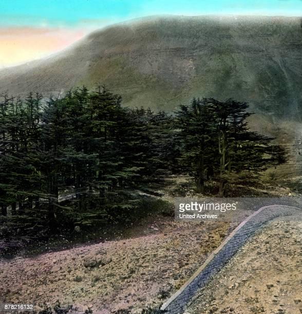A cedar forest in the Lebanon 1920s
