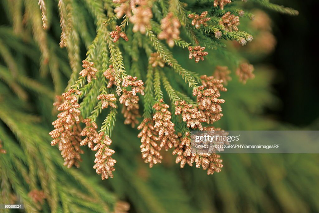 Cedar pollen : Stock Photo