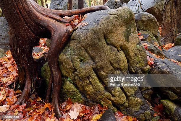 Cedar Root On Rock