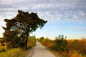 Cedar tree along path through the marsh.