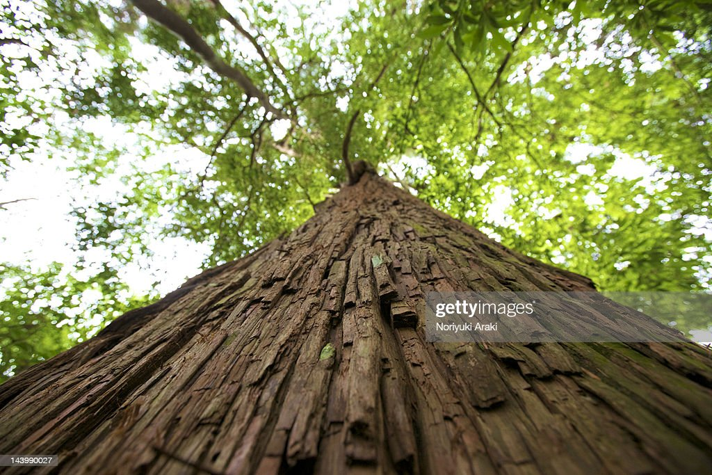 Cedar tree : Stock Photo