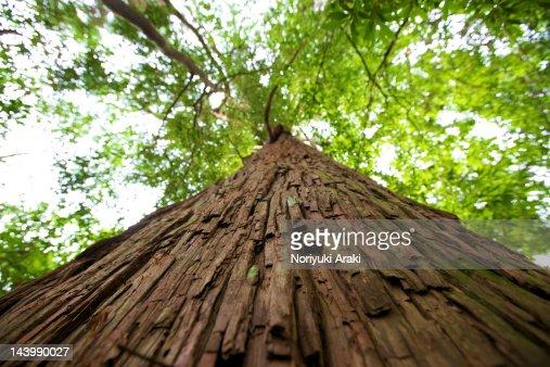 Cedar tree : Stock Photo