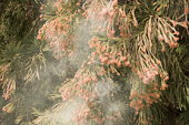 Cedar tree releasing pollen